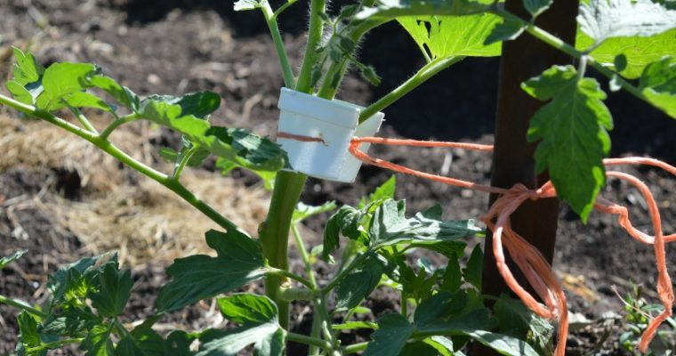 Tomato Plant Branch Protection